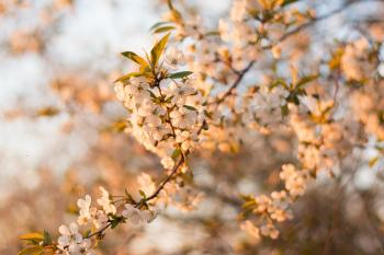 Selective Focus Photography of White Cherry Blossom Flowers