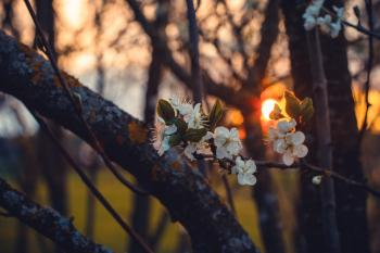 Selective Focus Photography of White Cherry Blossoms at Sunset