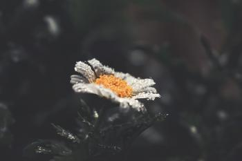 Selective Focus Photography of White Daisy Flower With Water Droplets