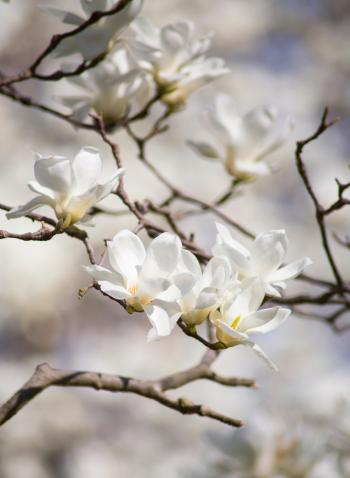 Selective Focus Photography of White Magnolia Flowers