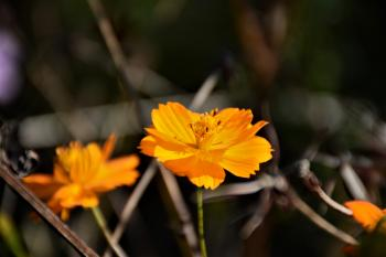 Selective Focus Photography of Yellow Tithonia Flowers