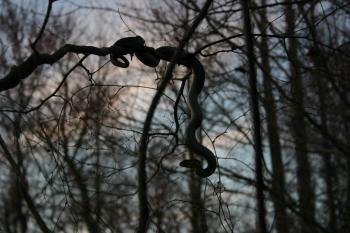 Tree serpant