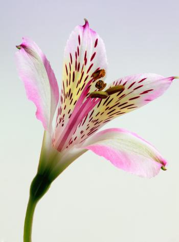 Shallow Focus Photography of Pink and White Petal Flower