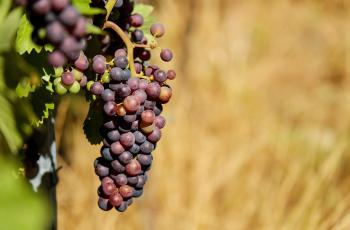Shallow Focus Photography of Purple Grapes