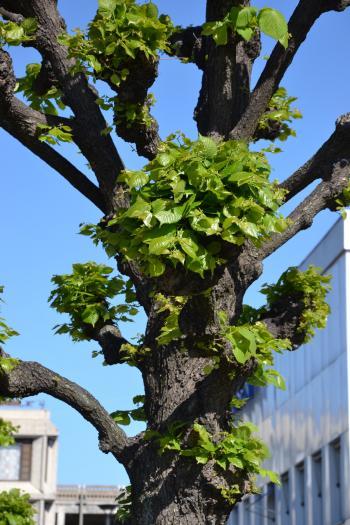 Shaped linden tree closeup
