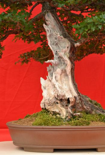 Shari on bonsai tree