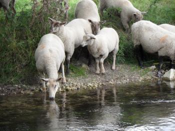 Sheep drinking at the river