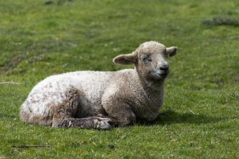 Sheep Lying in the Grass