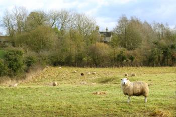 Sheep on Grass Field