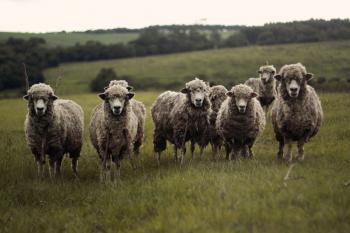 Sheep Selfie?
