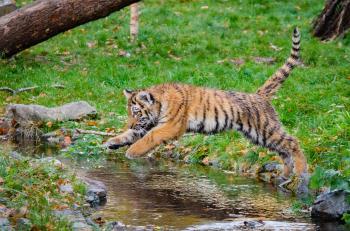 Siberian Tiger Cub Jumping