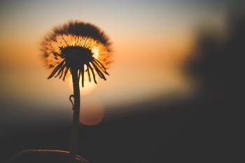 Silhouette of Dandelion Behind Sun