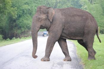 Single giant elephant walking on a road
