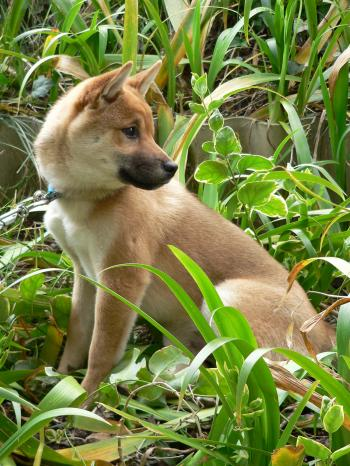 Sitting Shiba Inu Japanese dog looking over his shoulder