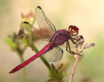 SKIMMER, ROSEATE (Orthemis ferruginia) (11-9-13) edinburg scenic wetlands butterfly garden, edinburg, tx (1) male