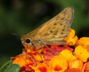 SKIPPER, FIERY (Hylephilia phyleus) (9-25-10) 78 circulo montana, pat lake ranch estates, scc, az -01