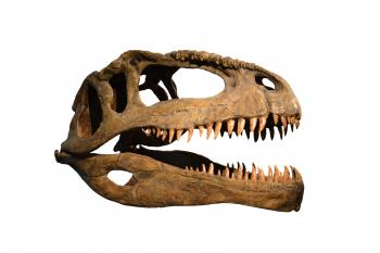 Skull of dinosaur on white background
