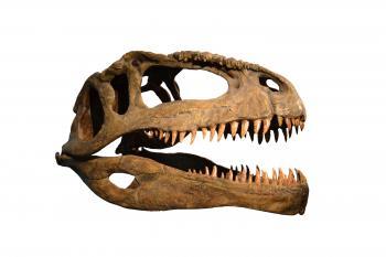Skull of dinosaur on white background