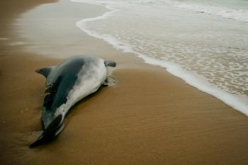 Small Beached whale dolphin