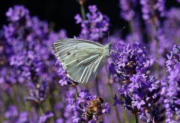 Small Cabbage White Ling