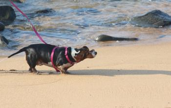 Small dog playing on the beach