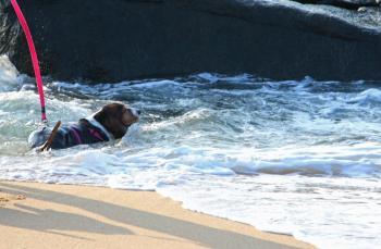 small dog swimming in the sea