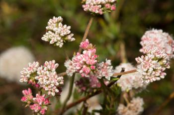 Small white and pink flower buds on bush