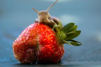 Snail on the Strawberry