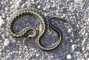 SNAKE, BLACK-NECKED GARTER (Thamnophis cyrtopsis) (9-16-12) pajarito mts, ruby road, scc, az -03