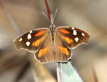 SNOUT, AMERICAN (Libytheana carinenta) (10-9-12) sawmill cyn, huachuca mts, cochise co, az -01