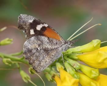 SNOUT, AMERICAN (Libytheana carinenta) (9-6-11) 78 circulo montana, patagonia lake ranch estates, scc, az -02