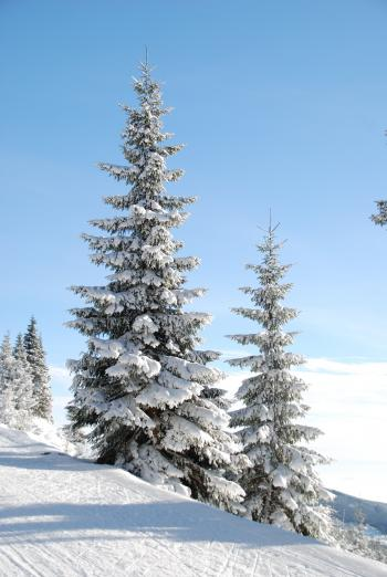 Snow Cap Pine Tree