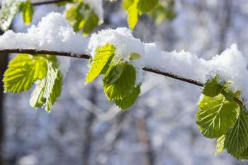 Snow Capped Leaves on Branch at Daytime