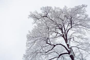 Snow Coated Tree Illustration