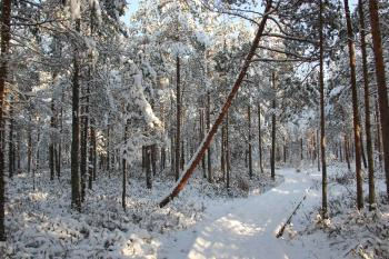 Snow Field Forest