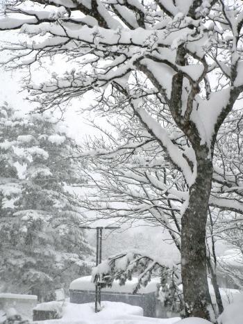 Snow in trees at Japanese ski resort