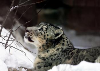Snow Leopard Pose