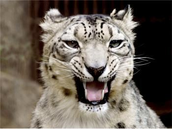 Snow Leopard Roar