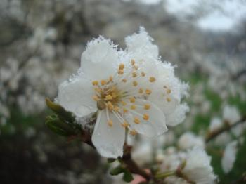 Snow on white blossoms