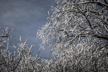 Snowcapped Trees