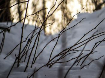 Some snowy plants