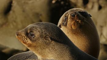 Southern NZ Fur seal pups.
