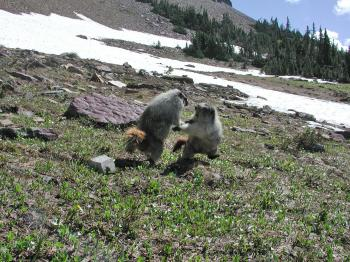 Sparring Marmots in Glacier Park