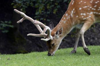 Spotted Deer Eating Grass on Green Grass at Daytime