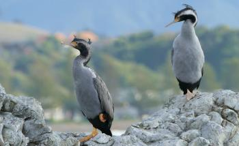 Spotted Shags. NZ