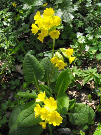 Spring flower-Primula officinalis