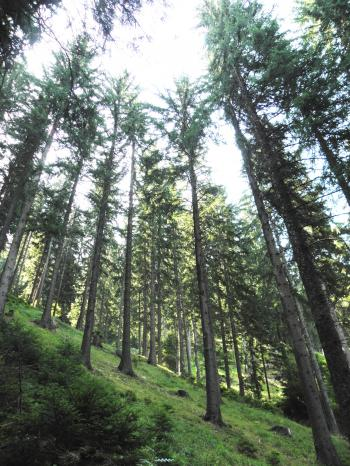Spruce forest in the central Rhodopes