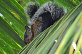 Squirrel in a Palm Tree