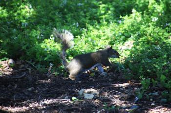 Squirrel running on the lawn