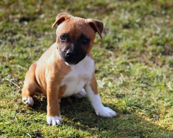 Stafford-Shire Bull-terrier Puppy
